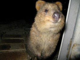 Quokka is happy to see you   So so upset I didn&39;t get ...
