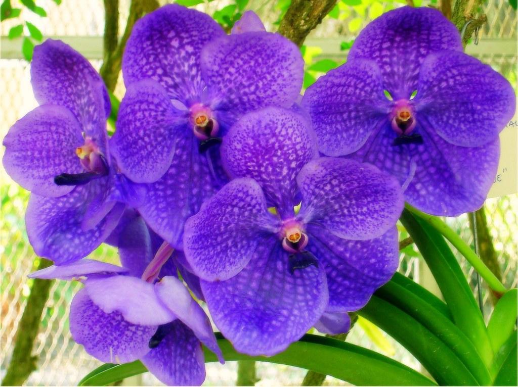 Orquídea Lilás   Jardim Botânico do RJ   Fernanda Dobbin   Flickr