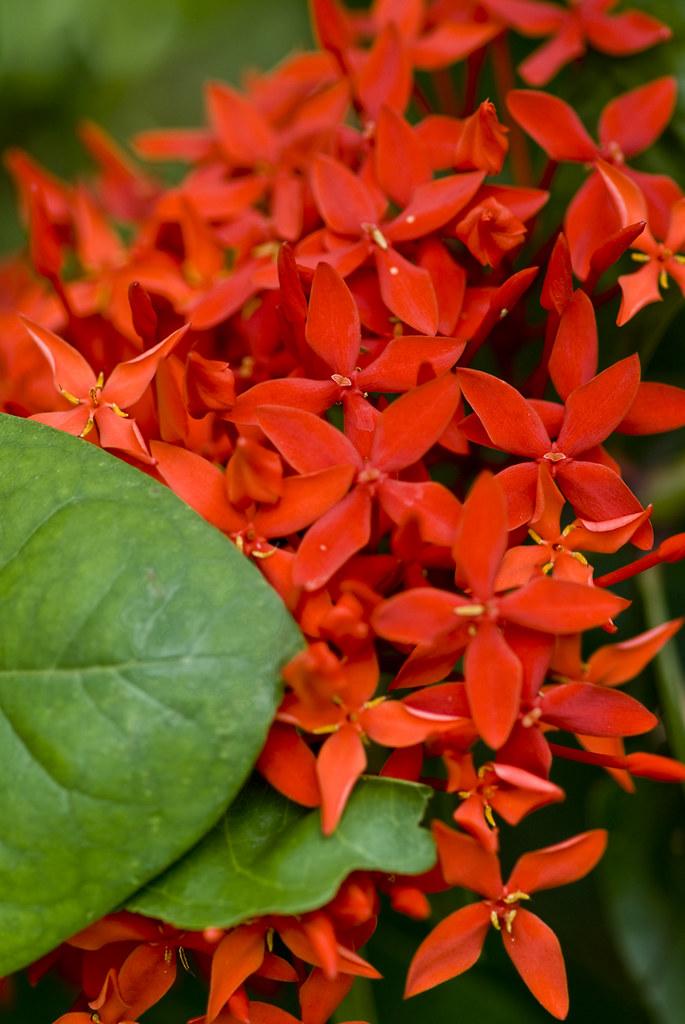 大王仙丹   大王仙丹 學名:Ixora duffii 原產中國大陸 馬來西亞 別名:大紅仙丹 常綠灌木 株高60-12…   Flickr