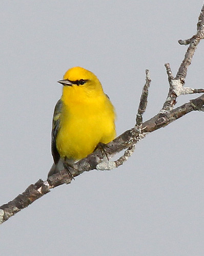 802 - BLUE-WINGED WARBLER (5 -25-2015) middlesex co, ma -01