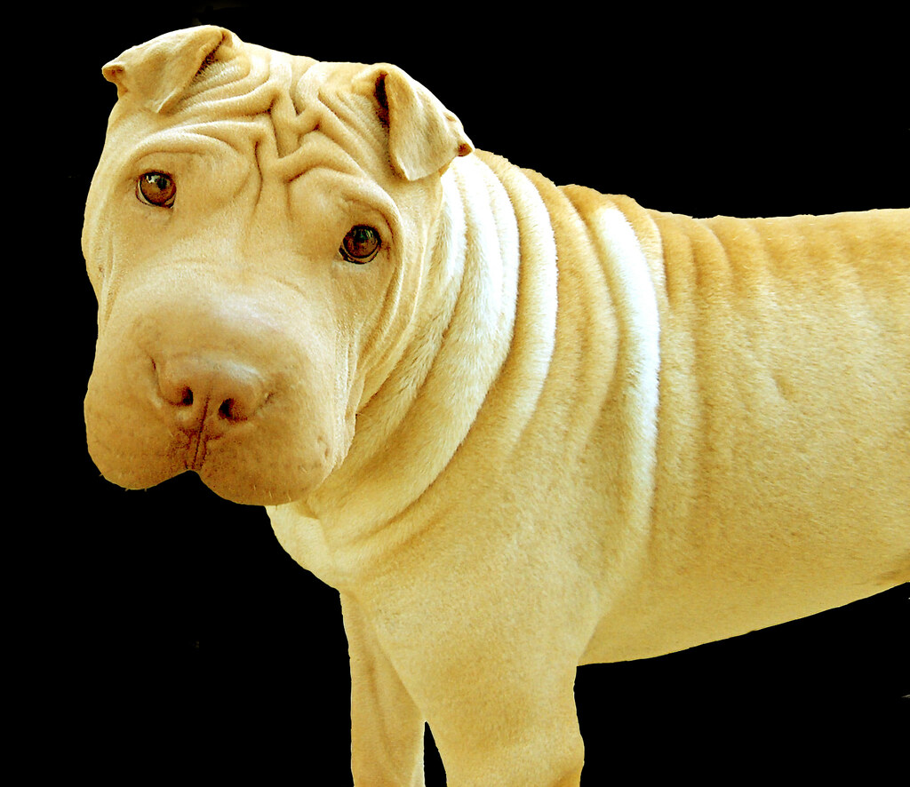 Fawn Dilute Chinese Shar Pei Puppy Dog Aspen Side Portra