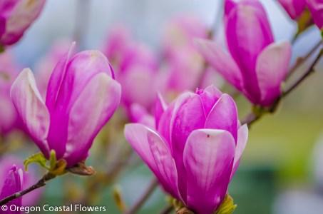 Lavender Magnolia Branches