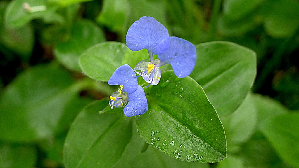 Commelina Benghalensis L Alex Popovkin Bahia Brazil