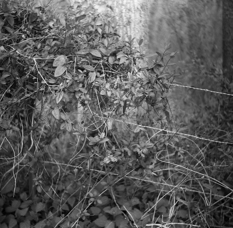 vines, barbed wire, ground cover, forest, West Asheville, NC, Flektar TLR 75mm f-3.5, Artista 400.Edu, Kodak TMax Developer, early March 2017