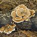 Turket Tails, Trametes versicolor