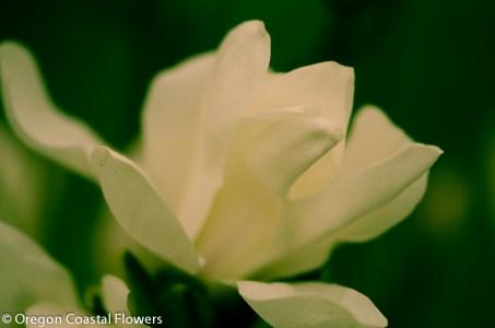 White Tulip Magnolia Flowering Branches