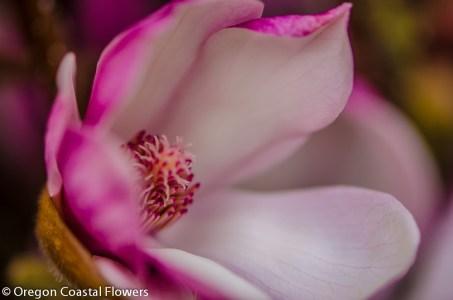 Tulip magnolia blooming branches
