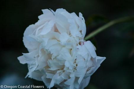 blush peony-1-2