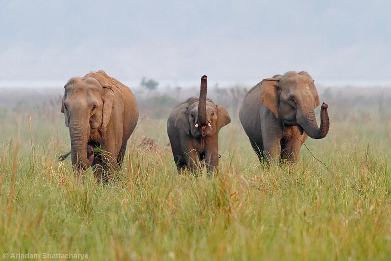 Asiatic Elephant   Jim Corbett National Park. !!!!