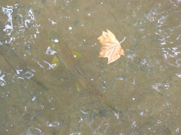 Wild Brown Trout in Little Falls