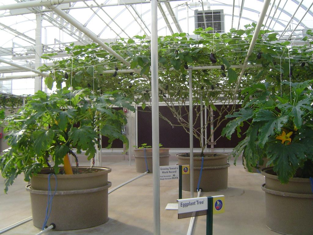 "2009-11-16 - The Land - Eggplant ""Tree"""