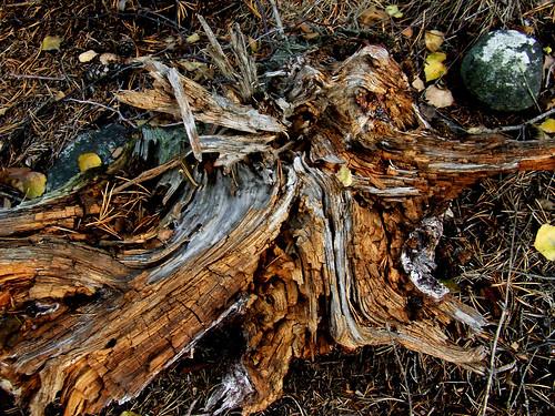 dried pine wood