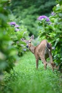 deer in hydrangea ranch