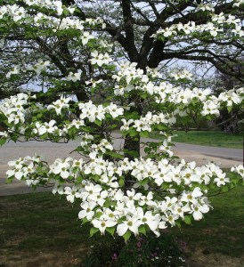 Florida Flowering Dogwood