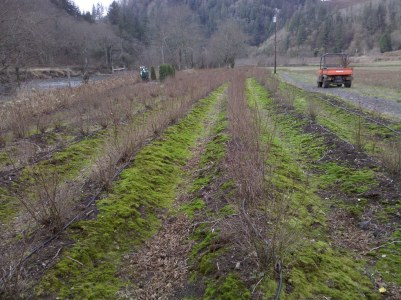 we harvest both our mood moss and our snowberries here along the Kilchis River in Tillamook