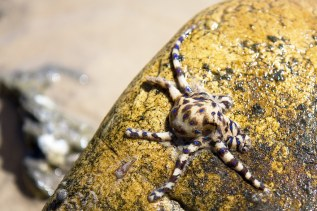Blue-ringed octopus | after I rudely flipped its rock over A… | Flickr