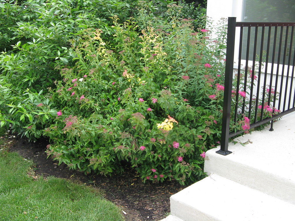 Anthony Waterer Spirea Wiring Diagram Directory
