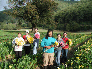 Harvest of calla lilies on the Oregon Coast