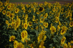 One Tall Sunflower