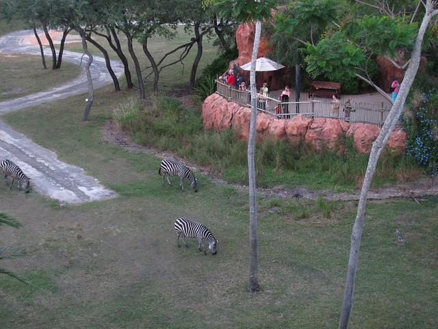 View of Zebra from our room at Animal Kingdom Lodge