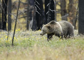 Threatened grizzly bear (Ursus arctos horribilis), Yellowstone National Park