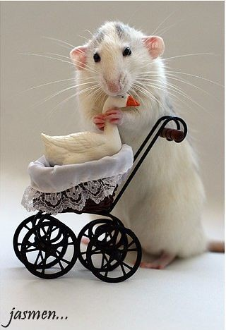 Animals Animal Cute Humor Rat Tiere F0b167db3561be55dbdd8e Flickr