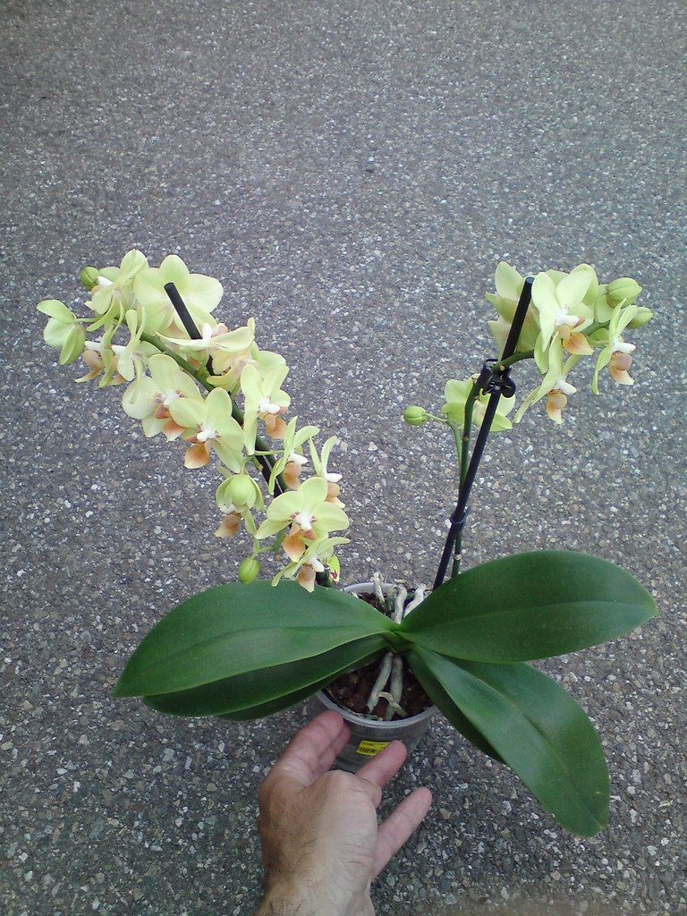 Phalaenopsis Multiflora Noid Orchid Lime Yellow With Oran