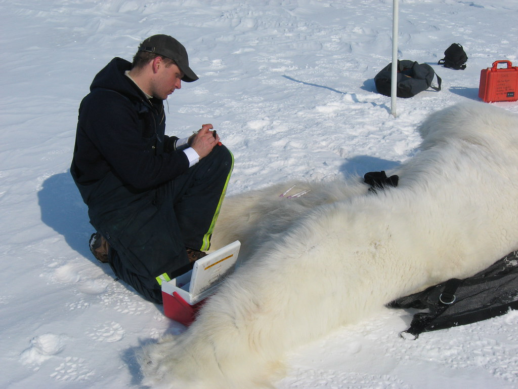 A Polar Bear Biologist Labels Blood Samples From A Bear