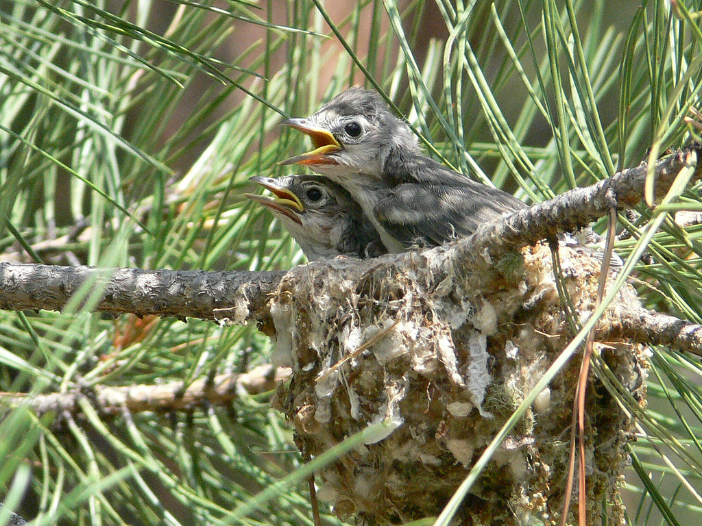 Baby Bird Duo