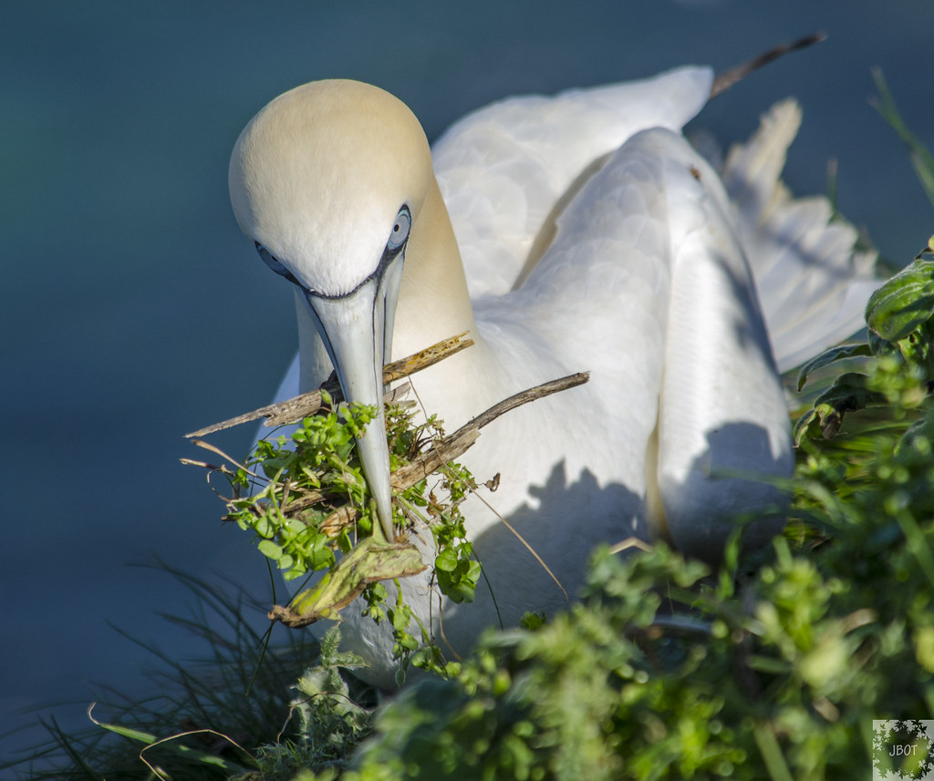 Gannet with nesting materials