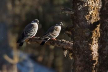 Snow Pigeons - Sela Pass - Arunachal Pradesh - India