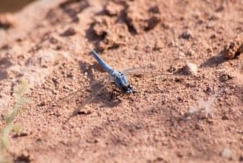 Van deze prachtige libelles zagen we er tientallen, maar alleen deze wilde op de foto.