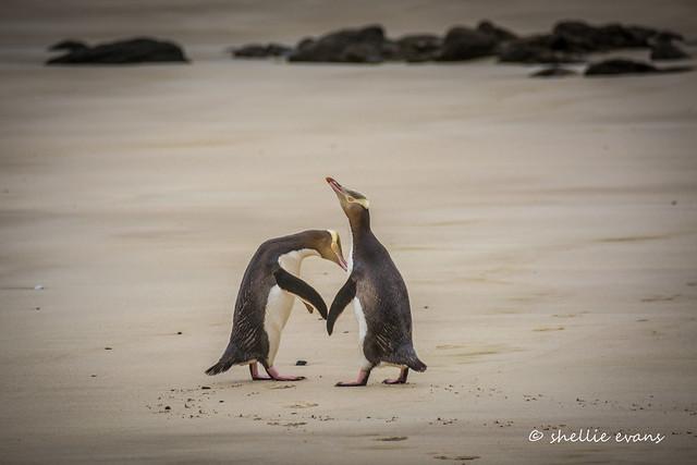 Hoiho/Yellow-Eyed Penguin, Porpoise Bay, Catlins