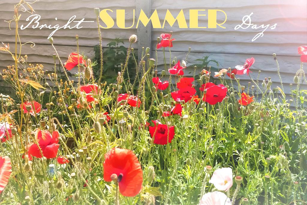 Rote Mohnblumen Fruhlingssaison
