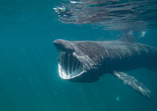 Basking shark Coll
