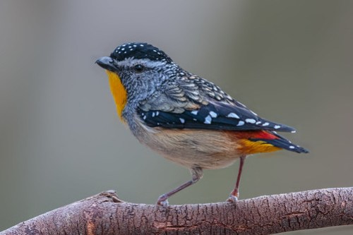 Spotted Pardalote 14