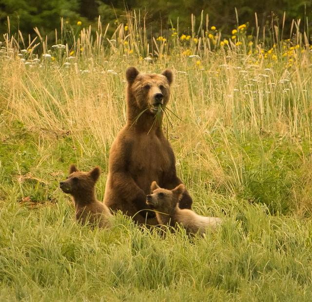 Coastal Grizzly Family