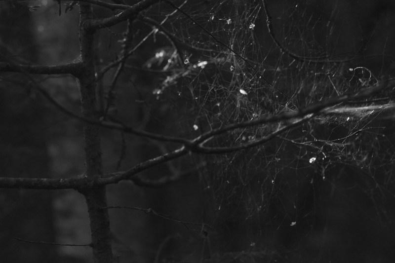 spider web, branches, forest, glistening light, Nikon D3300, mamiya sekor 80mm f-2.8, 9.24.17