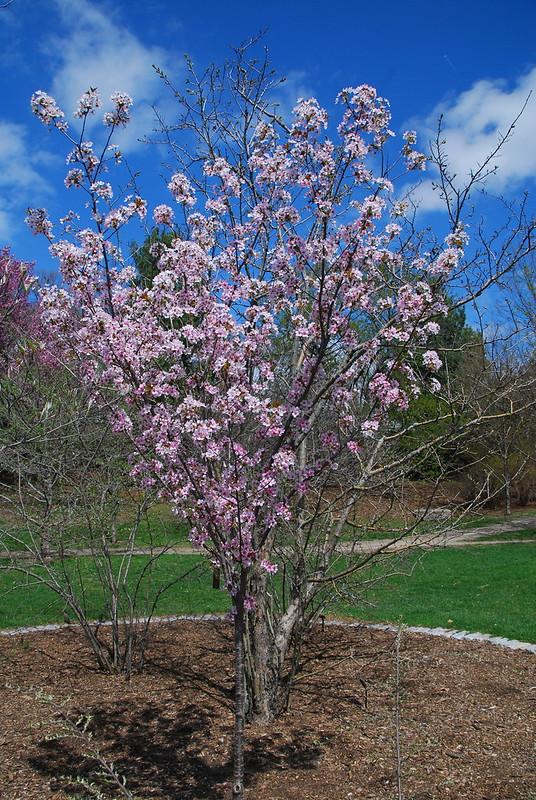 Prunus 'Spire' 459-2010A (12)
