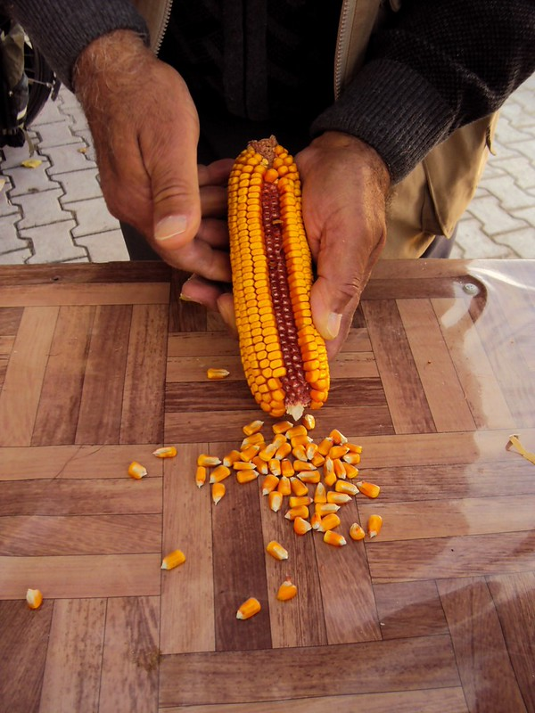 This corn has been dried a bit and will be used for animal feed.  The price/kg depends on the water content, but how do you measure the water content?  Step one: remove some kernels from a couple ears. by bryandkeith on flickr