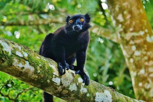 Black Lemur (Eulemur macaco) Facts