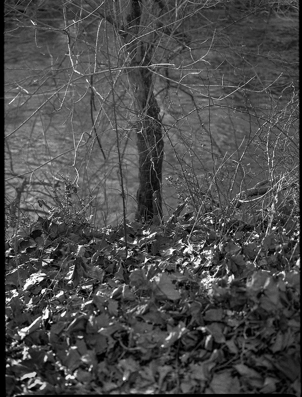 riverside, tree, sticker vines, leaves, Carrier Park, French Broad River, Asheville, North Carolina, Mamiya 645 Pro, mamiya sekor 80mm f-2.8, 12.30.17