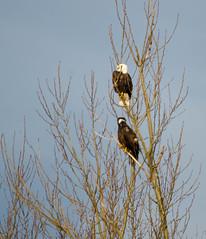 Eagles in Skagit Valley
