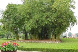 Massive bamboo, opposite Ho Chi Minh Mausoleum