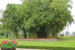 Massive bamboo, opposite Ho Chi Minh Mausoleum