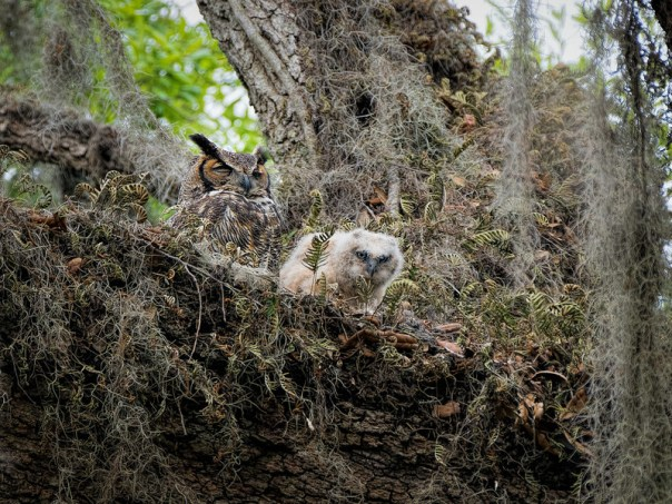 Great Horned Owl parent and chick