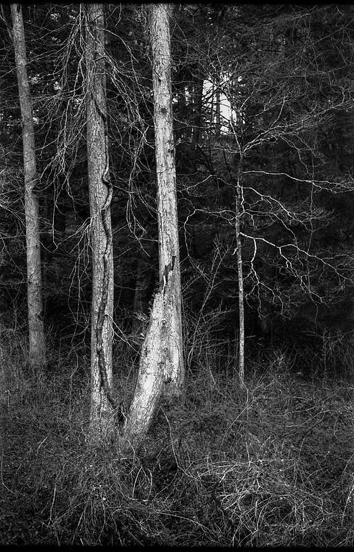 forest's edge, trees, trampled dried grasses, Biltmore Estate, Asheville, NC, Kodak Retina IIIc, Arista.Edu 200, Ilford Ilfosol 3, 3.8.18