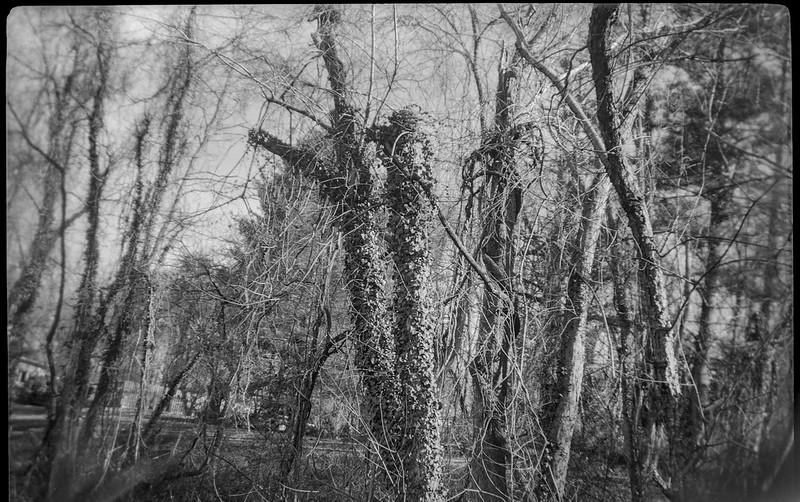 trees, ivy, vines, winter, Asheville, NC, Kodak Brownie No. 2 Model F, Kodak Tri-X 400, Ilford Ilfosol 3 developer, 12.22.18