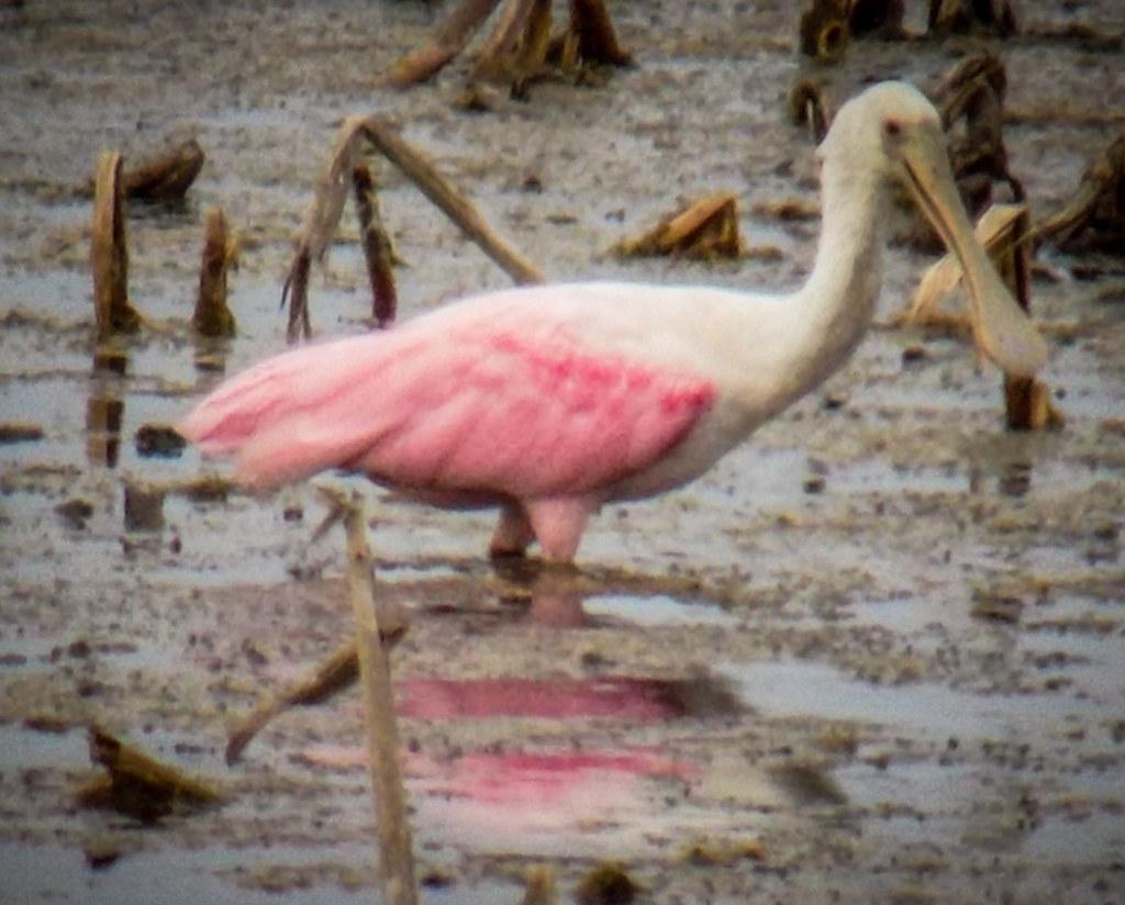Stick Marsh Birding-003
