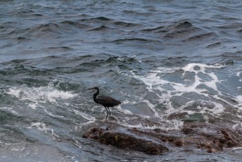Dit moet volgens mij de western reef heron zijn, oftewel de westelijke rifreiger.